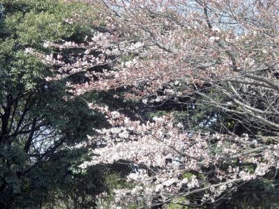 Sakura20110404