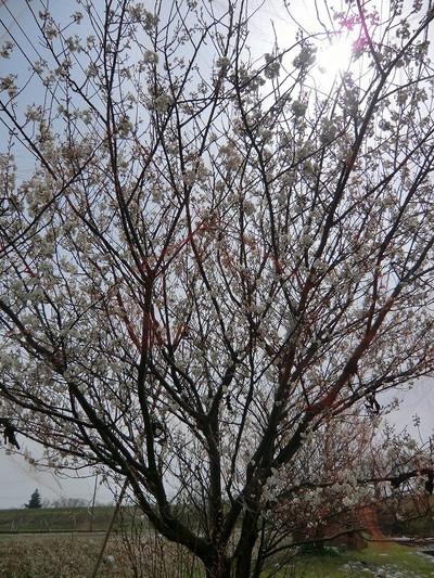 Cherryflower_2