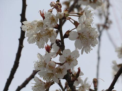 Cherryflowerzoom_4